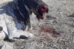 انفجار ألغام التدريبات العسكرية بقطيع أبقار في منطقة الساكوت محافظة طوباس
