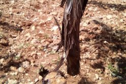 Israeli colonists cut down 400 vine trees east Hebron governorate