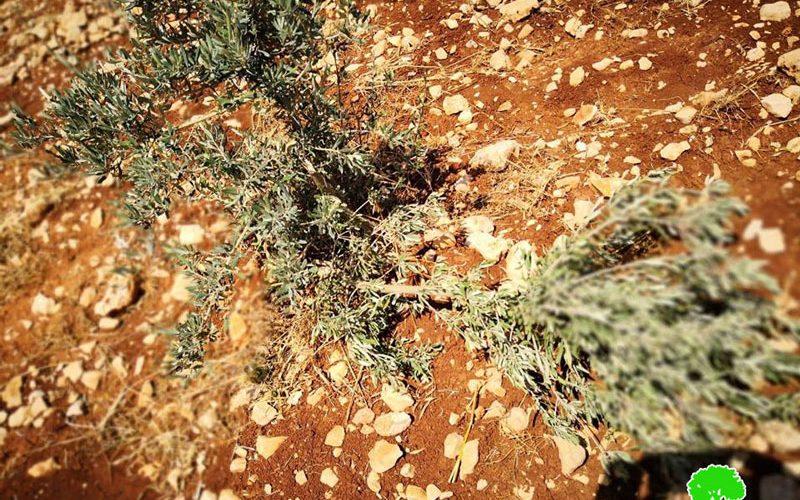 إحراق عشرة دونمات زراعية و اقتلاع غراس زيتون بقرية دير جريرمحافظة رام الله
