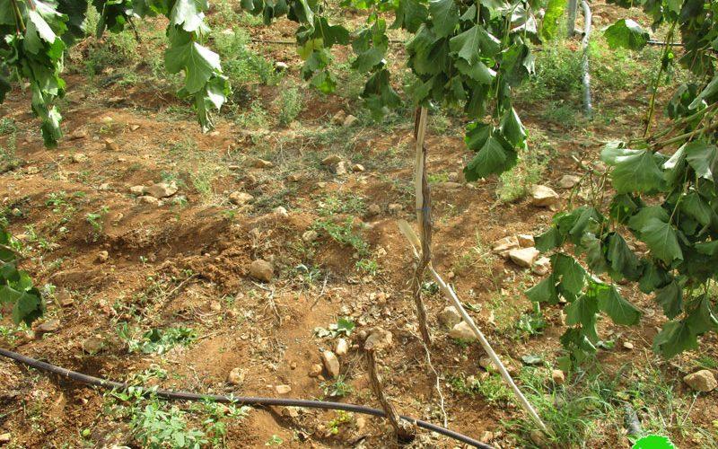 إعدام 62 شجرة عنب على يد المستعمرين في منطقة عين سامية محافظة رام الله