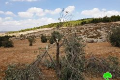 مستعمرون يقطعون 15 شجرة زيتون ويعتدون على منازل المواطنين بقرية التواني شرق يطا / محافظة الخليل
