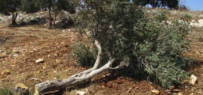خلع وسرقة مئات أشجار الزيتون المثمرة على يد الاحتلال في بلدة عرابة / محافظة جنين