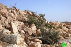Occupation carry out ravaging and uprooting in Khirbet Jamrura/ Hebron