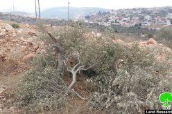 """Bruchin"" settlers cut 42 olive tree in Bruqin town / Salfit"