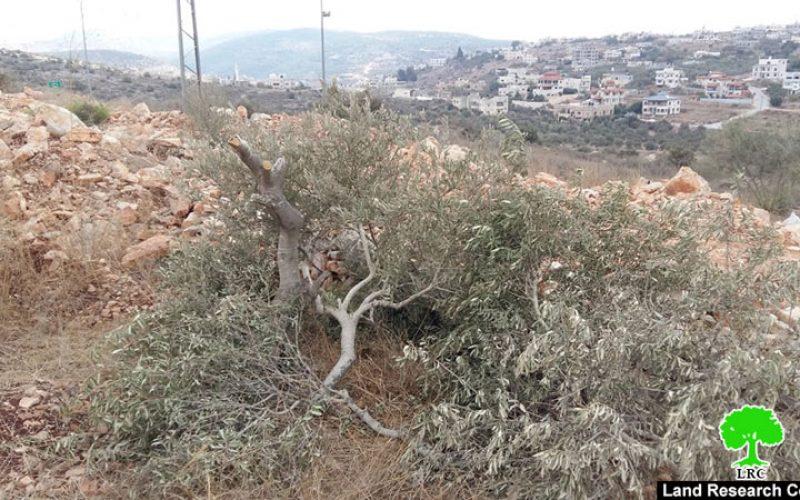 """مستعمرو """" بروخين يقطعون 42 شجرة زيتون من أراضي بلدة بروقين / محافظة سلفيت"""