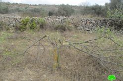 """Hallamish"" illegal settlers cut citrus trees in Deir Nitham village/Ramallah"
