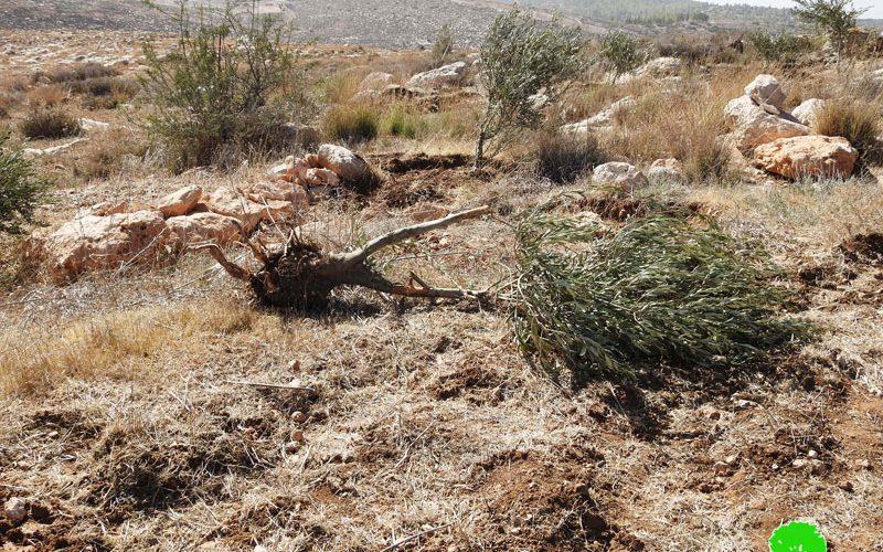 الاحتلال يجرف أراضي ويقتلع أشجار في بلدة بيت أولا غرب الخليل