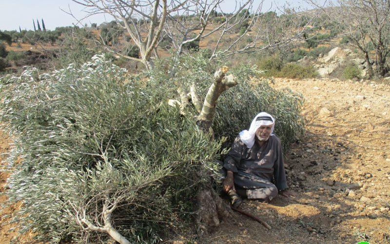 """مستعمرو """" عادي عاد"""" يقتلعون 21 شجرة زيتون مثمرة في بلدة ترمسعيا محافظة رام الله"""