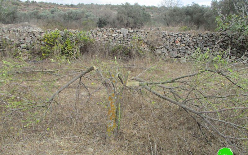 """Hallamish"" illegal settlers cut citrus trees in Deir Nitham village/Ramallah"