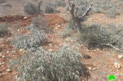 إعدام 90 شجرة زيتون معمّرة على يد المستعمرين في قرية المغير / محافظة رام الله