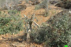 """مستعمرو """" عادي عاد"""" يقطعون 21 شجرة زيتون مثمرة في بلدة ترمسعيا / محافظة رام الله"""