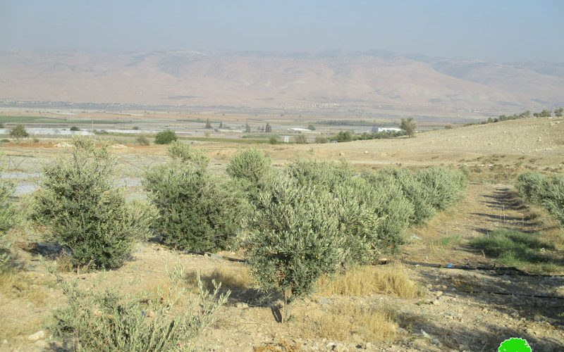 Removing 70 olive trees in Tel Al Himeh/ Tubas governorate