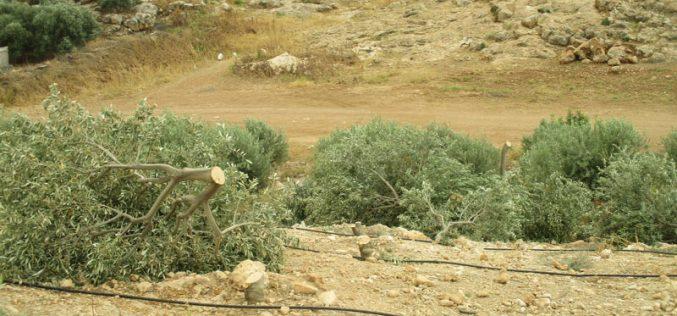 Settlers Sabotage 320 olive trees in Bardala/ Tubas governorate
