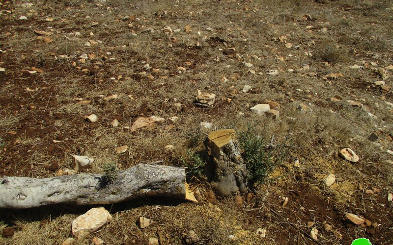 Uprooting and sabotaging hundreds of olive trees in Arraba / Jenin governorate
