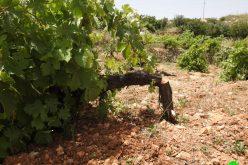 Settlers sabotage 500 vine trees – Halhul/ Hebron governorate