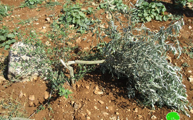 """""""Adei Ad"""" settlers uproot and sabotage 270 olive seedlings in Turmus'ayya /Ramaallah governorate"""