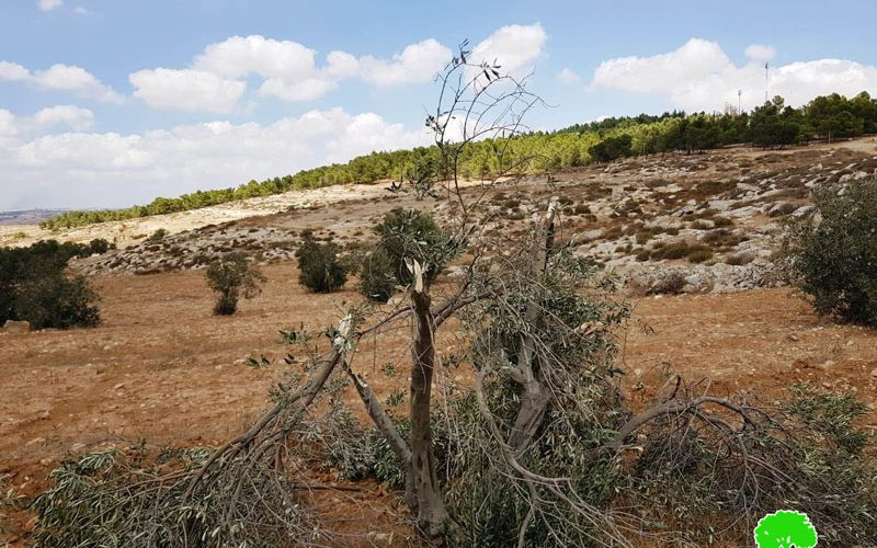 Settlers Sabotage 15 olive trees and assault Palestinian homes / East Yatta/ Hebron governorate