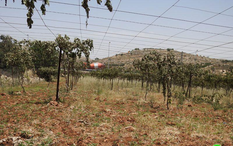 Settlers sabotage 700 Vitis trees in Balotat Ewais- South Hebron