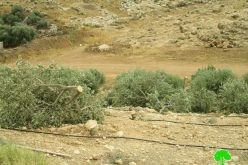 Settlers Sabotage 320 olive trees in Bardala/ Tubas governorate