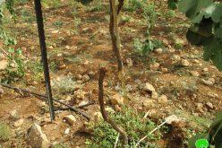 Settlers sabotage 62 vine trees in Ein Sameya / Ramallah governorate