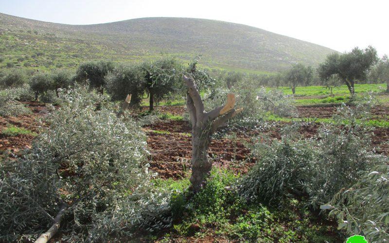 قطع وتخريب 22 شجرة زيتون على يد المستعمرين في قرية المغير / رام الله