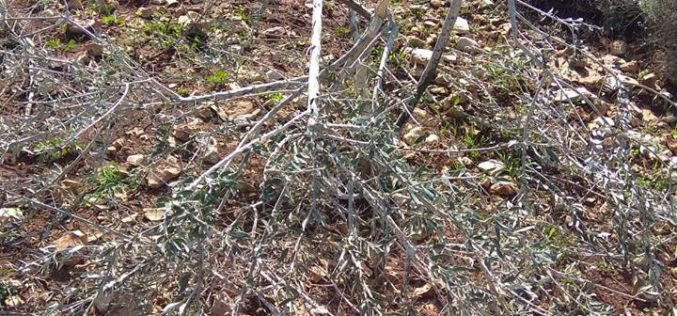 """مستعمرو """"رفافا"""" يقطعون أشجار زيتون في بلدة دير ستيا / محافظة سلفيت"""