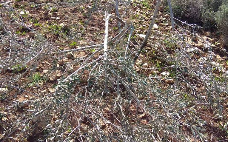 """Revava"" colonists sabotage olive trees in Deir Istiya town / Salfit governorate"