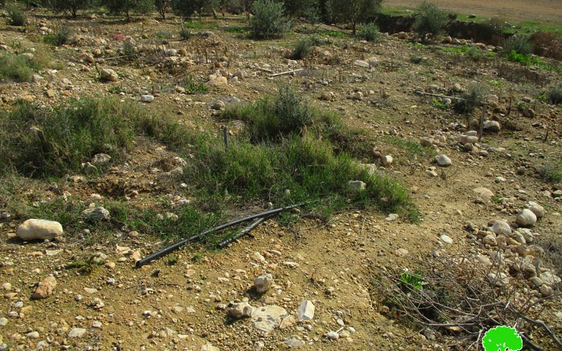 Uprooting and stealing 140 saplings in Bardala town/ Tubas governorate