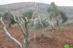 """Adei Ad"" settlers sabotage olive trees in Turmus'ayya / Ramallah"
