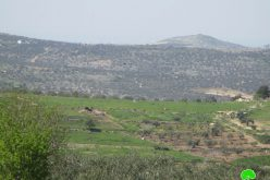 Settlers Sabotage 145 olive saplings from Jit village / Qalqilya governorate
