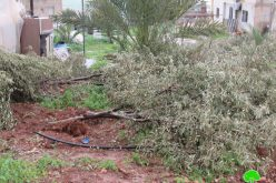 New Crime Against olive trees; uprooting hundreds of trees / Tubas governorate