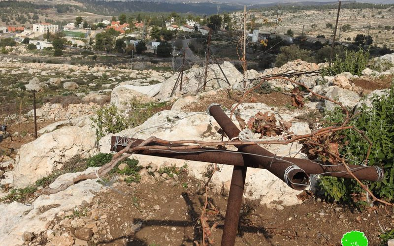 Settlers sabotaged saplings in a Hebron farm