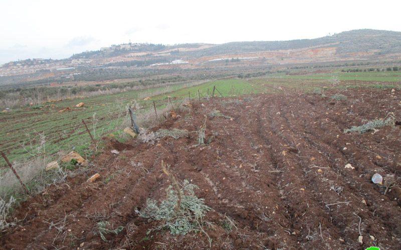 Sabotaging 60 olive saplings in Turmus'ayya/ Ramallah governorate