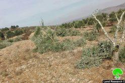 في اقل من أسبوع جريمة أخرى بحق أشجار الزيتون في بلدة ترمسعيا / محافظة رام الله
