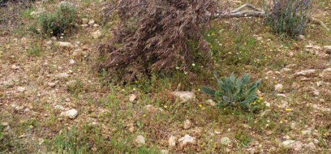 """Adei Ad"" settlers sabotage 55 olive trees in Turmus'ayya / Ramallah"