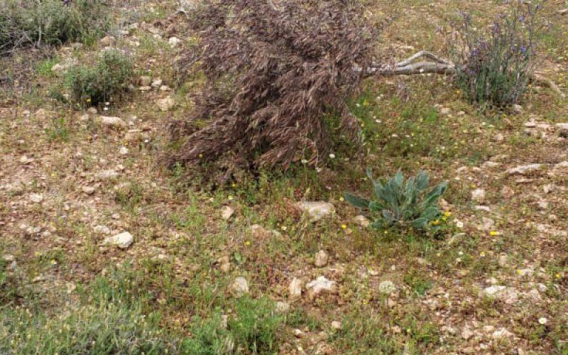 """مستعمرو مستعمرة """" عادي عاد"""" يتلفون 55 شجرة زيتون في بلدة ترمسعيا / محافظة رام الله"""