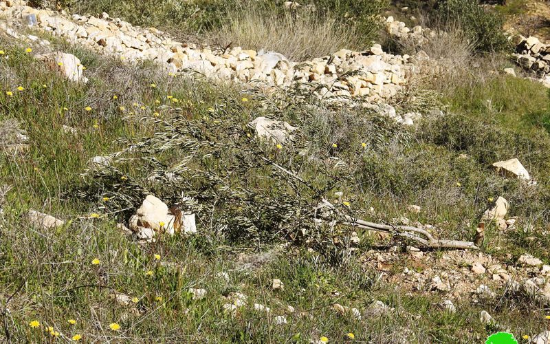 The Israeli occupation cut down 200 olive trees in Khirbet Safa – Beit Ummar/ Hebron governorate
