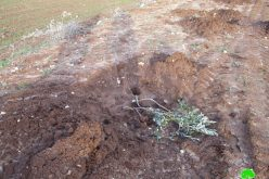 """Adei Ad"" settlers vandalize hundreds of olive saplings in Turmus'ayya / Ramallah governorate"