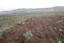 Sabotaging 60 olive saplings in Turmus'ayya/ Ramallah governorate