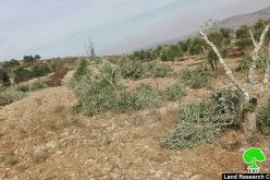 In less than a week, another crime against olive trees in Turmus'ayya / Ramallah