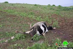 Explosive remnants of military trainings kill number of cows in As-Sakut / Tubas governorate.