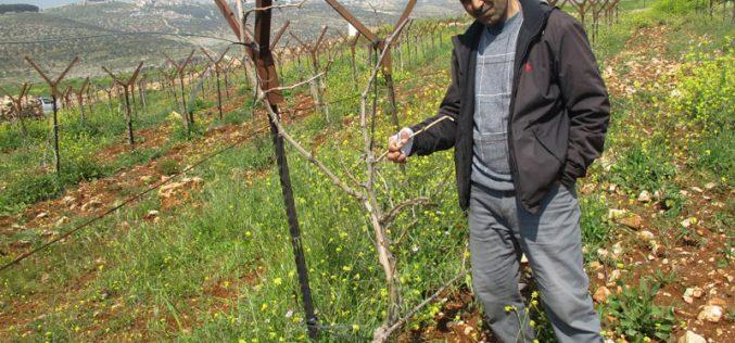 Israeli settlers sabotage trees in Deir Jarir / Ramallah governorate