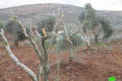 """مستعمرو مستعمرة """" ألفيه منشيه"""" يتلفون 19 شجرة زيتون في قرية عسلة / محافظة قلقيلية"""