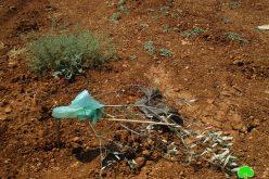 Settlers Sabotage Saplings in Turmusa'yya / Ramallah Governorate