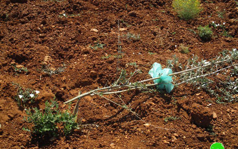 مستعمرون يقطعون غراس التين والزيتون من أراضي بلدة ترمسعيا / محافظة رام الله