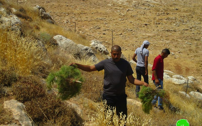 Settlers sabotage olives and Figs sapling in Al-Mu'arajat / Ramallah