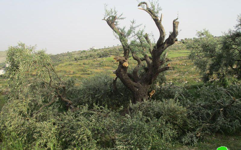 قطع وتخريب 40 شجرة زيتون في قرية برقة شمال شرق رام الله