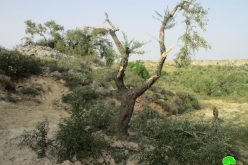 Israeli settlers sabotaged 40 olive trees in Burqa village /Ramallah