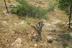 """The Israeli Occupation Uproots 400 trees and destroys two cisterns in """"Umm Kbaish""""/ Tubas Governorate"""