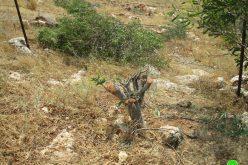 """قلع 400 شجرة وهدم بئرين في منطقة """" ام كبيش"""" / محافظة طوباس"""